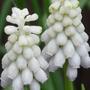 Muscari azureum alba (muscari azureum alba)