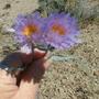 Beautiful blue cactus bloom