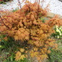My Orange Dream Acer in my front raised bed