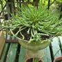 Medusa Head Cactus