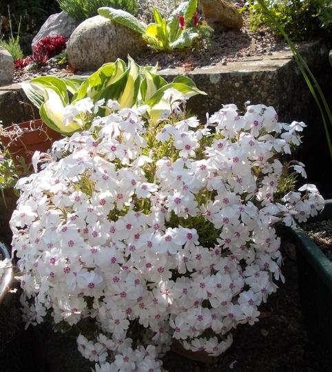 """White Phlox subulata, """" Amazing Grace""""."""