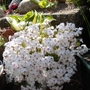 "White Phlox subulata, "" Amazing Grace""."