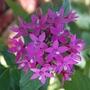 Pentas aka Egyptian Star Flower -Pentas lanceolata
