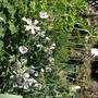 Geraium& seed heads of Pasque Flower.