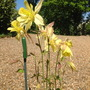Aquilegia_goldfinch_