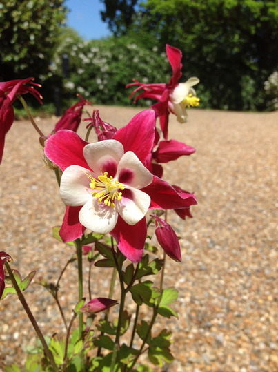Aquilegia Red Star