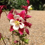Aquilegia_red_star