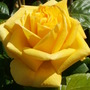 Rose 'Golden Shower' Can You Smell It?