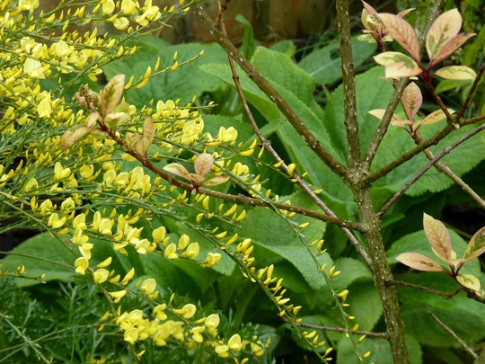 Cytisus 'Allgold' with digitalis leaves behind and Syringa emodi in front. (Cytisus praecox 'Allgold')