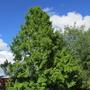 Redwood Dawn Tree