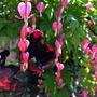 Dicentra spectabilis & Tulip Black Parrot (Dicentra spectabilis)