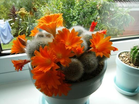 orange flowers on cactus