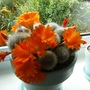 orange flowers on cactus