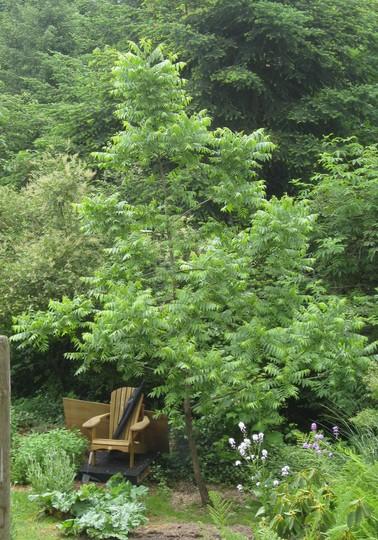 Young black walnut tree (Juglans nigra)