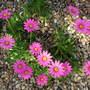 Osteospermum jucundum 'Compactum' (Osteospermum jucundum 'Compactum')