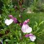 Salvia 'Joy' One of my new Salvia Collection