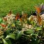 Viburnum cinnamomifolium...aptly named as the new foliage is the colour of cinnamon. (Viburnum Cinnamomifolium)