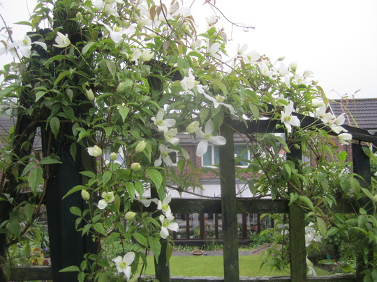 Clematis growing over the arch and along the trellis.