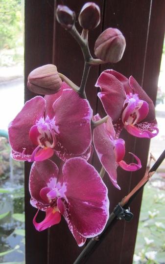 Burgundy coloured Phal is flowering again. (Phalaenopsis)