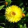 Strawflower_Yellow Queen