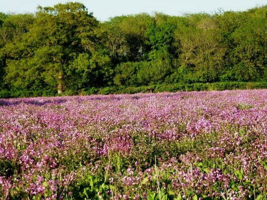 A field of pink Campion