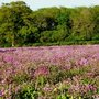 Field_of_wild_campion