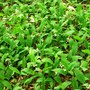 Lily_of_the_valley_4