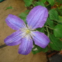 Clematis 'Rhapsody' (Clematis)