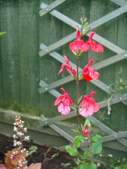 Salvia 'Hot Lips' (Salvia)