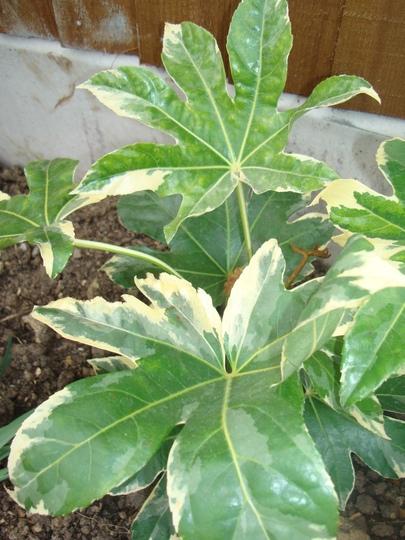 Fatsia (variegated) (Fatsia variegata)