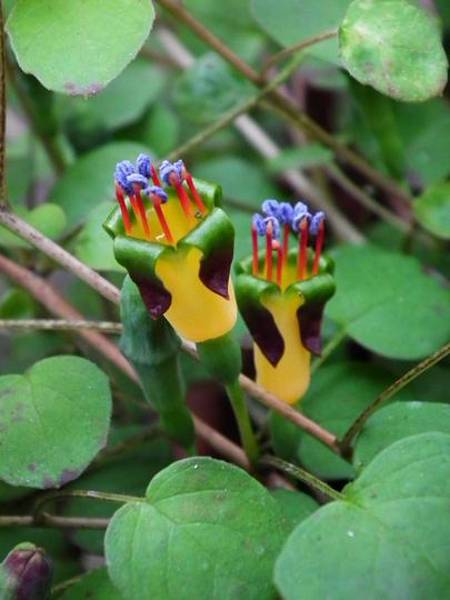 Fuchsia procumbens (fuchsia procumbens)