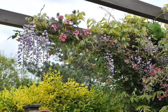 Wisteria and Montana Broughton Star on pergola. (Wisteria sinensis (Chinese wisteria))