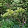 Plaited Wisteria.... (Wisteria floribunda (Japanese Wisteria) Rosea)