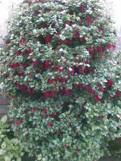 bush spotted in our local council garden (Ribes speciosum)