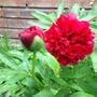 Red during the rain (Peonie buckeye belle)