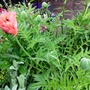 Mrs Perry (Papaver orientale 'Mrs Perry')