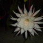 Epiphyllum oxypetalum - Queen of the Night (Epiphyllum oxypetalum - Queen of the Night)