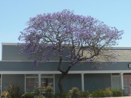 Jacaranda Tree in Bloom (Jacaranda)