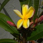 Plumeria 'California Sunset' Flower (Plumeria 'California Sunset')