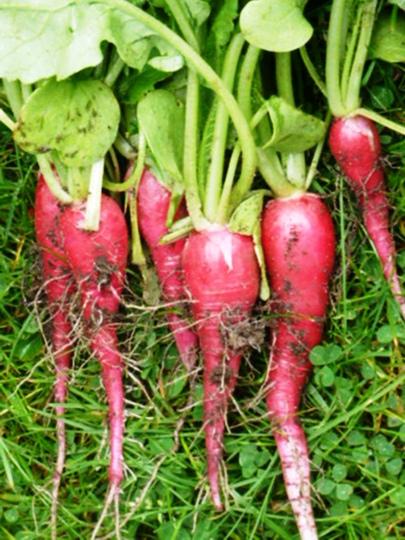 Radish  ostergrub rosa 2
