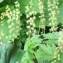 Tellima (Fringecups) (Tellima grandiflora (Fringe cups))