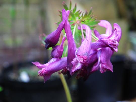 Corydalis anthriscifolia (Corydalis anthriscifolia)