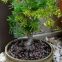 For Sheilabub Abies Koreana Bonsai. (Abies koreana)