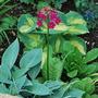 Primula Miller's Crimson with Hostas... (Primula japonica (Japanese Primrose) Miller's Crimson)