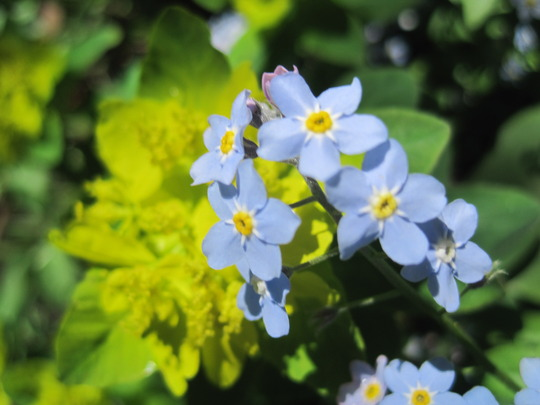 spring colours (myosotis sylvatica)