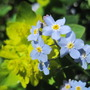 spring colours (myosotis sylvatica)