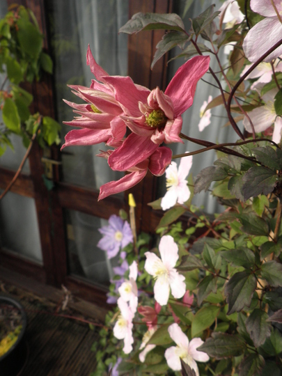 Clematis Montana Broughton Star now open