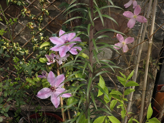 another of clematis blue ravine