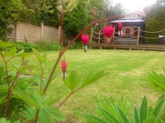 My garden (Dicentra eximia (Bleeding Heart))