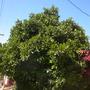 Ficus cyathistipula - Congo Fig (Ficus cyathistipula - Congo Fig)
